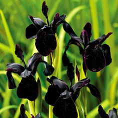 IRIS chrysographes 'Black Form' - Iris, farve: sortviolet, lysforhold: sol, højde: 50 cm, blomstring: juni - juli, velegnet til snit.