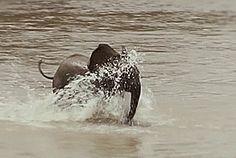 """Beide afrikanischen Elefantenarten, der Savannenelefant wie der Waldelefant, stehen als """"gefährdet"""" auf der internationalen Roten Liste."""