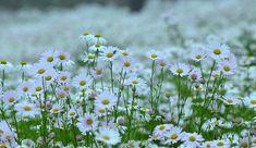 순백의 구절초가 수채화 같은 풍경을 자아내며 가을향기를 전해준다 가을이 무르익어가는 날들 맑고 청명한 하늘 아래 고운 햇살이 퍼지는 날 잎새들은 알록달록 예쁜 옷으로 갈아입으며 곱고 아름답게 물들어 가지요 내 가을꽃이 지고있네요.. 가을아.. 조금만 더 머