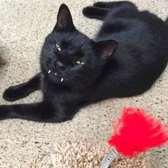 A kitty with vampurr fangs stole a woman's heart after she rescued him from the streets. Courtesy: Nicole RienzieA little black kitten ran into the street right in front of a moving car, but the driver stopped just in time. She got out of her car and went to save the kitten. Nicole Rienzie was on he...