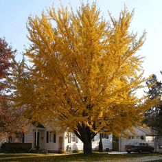 Unique Leaves - Bright Yellow Fall Foliage  -  - Colorful, unique foliage - Pest and drought resistant  An unusual ornamental tree famous for its interesting shape and vibrant foliage!   The Ginkgo tree is sure to make your landscape stand out! You'll be fascinated by its tall, rounded form and delicately shaped leaves....