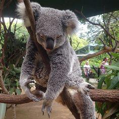 look at her little tongue  #koala #cws #currumbinwildlifesanctuary by rapidash http://ift.tt/1X9mXhV