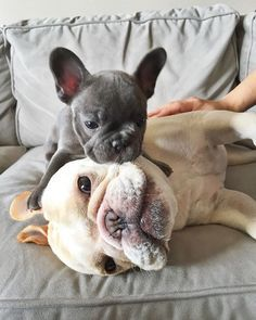 """People let me tell you about my best friend""…French Bulldog Besties. ""People let me tell you about my best friend""…French Bulldog Besties. Puppies And Kitties, French Bulldog Puppies, Cute Puppies, Cute Dogs, Doggies, Animals And Pets, Baby Animals, Funny Animals, Cute Animals"