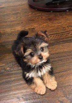 Cute baby animals Cute animals Yorkie puppy Baby dogs Cute puppies Morkie puppies - Get terrific recommendations on yorkie Th Super Cute Puppies, Cute Little Puppies, Cute Little Animals, Cute Dogs And Puppies, Baby Dogs, Puppies Tips, Mini Puppies, Cute Small Dogs, Cute Animals Puppies