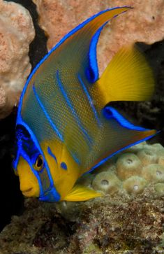 Juvenile Queen Angelfish (Holacanthus ciliaris) photographed in the Breakers Reef, Palm Beach, Florida.