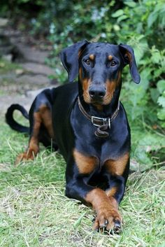 Image result for dobermans uncropped and no bob