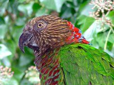 Hawk-headed Parrot ( Amazon)