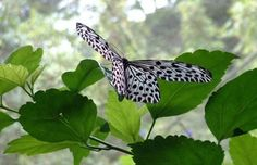 Butterfly in Borneo. By June Hindley