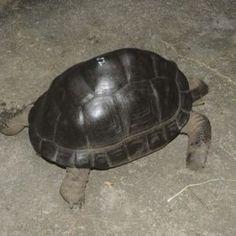 Sulcata Tortoise For Sale (African spurred tortoise) Sulcata Tortoise For Sale, Hibiscus Leaves, Tortoise Enclosure, 6 Month Old Baby, Tortoises, Albino, Reptiles, Habitats