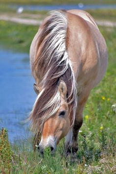 The Fjord horse is one of the world's oldest and purest breeds. Horses were… Most Beautiful Animals, Beautiful Horses, Beautiful Creatures, Fjord Horse, Concours Photo, Akhal Teke, Majestic Horse, All The Pretty Horses, Tier Fotos