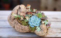 In this video provided by Garden Answer, we will learn how to plant succulents on driftwood without the use of soil. Simply gather your piece of driftwood, some sphagnum moss, a hot glue gun, a pair of scissors, and an assortment of succulent clippings to be on your way to creating a beautiful succulent arrangement. …