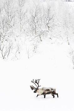 Love winter. Reindeer.