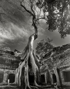 The Most Ancient and Magnificent Trees From Around the World | Rilke's Bayon. Siem Reap, Cambodia, 2007. Buddhist temples are straddled by the immense trunks of huge ficus trees whose serpentine roots pry apart the ancient stones in a desperate journey to find soil.    Beth Moon  | WIRED.com