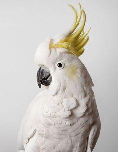 Leila Jeffreys, cacatoès, blanc, perroquet, ara, oiseau, crête, jaune, photo, portrait
