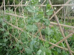 Peas on bamboo trellis. (Triaxial weave)