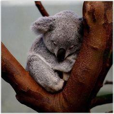 My favorite Marsupial