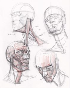 head/neck anatomy