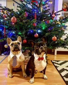 French Bulldogs at Christmas