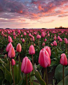 Tulip Field, Skagit Valley, Washington