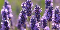 Lavender oil is one of the best oils to use to stop grinding teeth in sleep. Its relaxing and sedating effects on the nervous system have been proven Lavender can help you sleep more soundly and induce a state of relaxation in all your muscles. Lavender Flowers, Purple Flowers, Lavender Oil, Growing Lavender, Growing Flowers, Sensitive Acne Prone Skin, Anti Redness, Water Lighting, Herbal Remedies