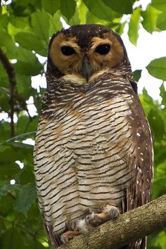 spotted barn owl