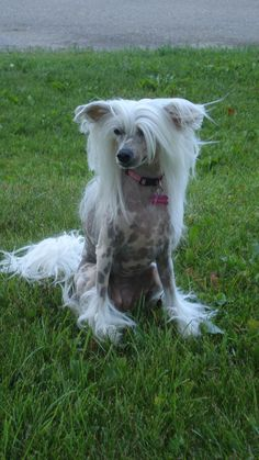 Rockstar Chinese crested dog