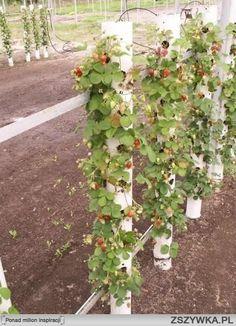 Fresas crecen verticalmente