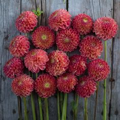 """Snoho Doris - Details - Flower Type: Ball Height: 4-5' Site: Full Sun Days to Maturity: 80-100 days: Plant Spacing: 12-18"""" Pinch: When plants are 12"""" tall"""