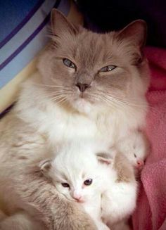 Mama cat and kittens Cute Kittens, Cats And Kittens, Funny Kitties, Ragdoll Cats, Pretty Cats, Beautiful Cats, Animals Beautiful, Cute Baby Animals, Animals And Pets