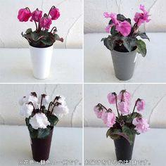 小さな鉢植えシクラメン:ミニウェラ ベリッシマ(花色・鉢色おまかせ)2号給水鉢:鉢花 通販 engei.net