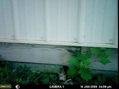 Video After Watching Sunny For Months With My Wildlife Camera I Finally Found Out Where Her Front Door Was To Her Den 2014