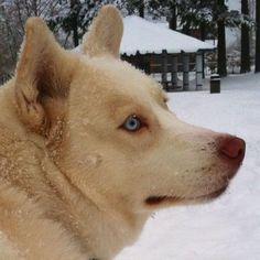 White Alaskan husky