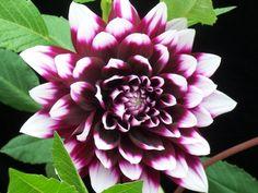 sooooo pretty!!  +stargazer lillies/irises??!!?