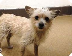 Apple Valley, CA - Terrier (Unknown Type,HIGH KILL SHELTER!!!!!!!!! Medium)/Terrier (This is what I have: Timmyjoe1 4351 92024Unknown Type, Medium) Mix. Meet Tippy