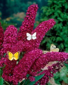 Sommerflieder royal red 17 Blumen und Pflanzen, die Schmetterlinge im Garten magisch anziehen