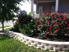 Knockout rose bushes (Rosa radrazz & Sunny knockout), rose vervain, rhea salvia, and live oak tree.