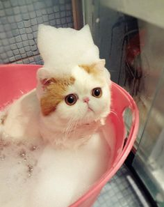 cute japanese cat taking a bath
