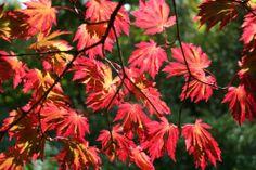 * Acer Japonicum Aconitifolium * Full Moon Japanese Maple Tree - 3L Pots | eBay