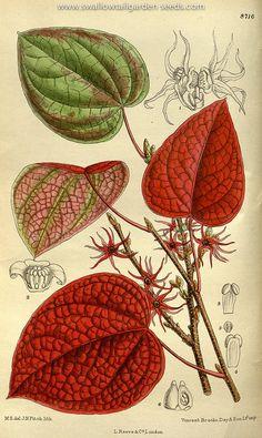 Disanthus cercidifolius. Curtis's Botanical Magazine