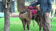 llama saddle one Camel, Training, Horses, Animals, Animaux, Camels, Horse, Animal, Work Out