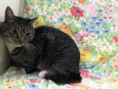 Manhattan Center BODY - ID#A0986092 (IN ACC FOSTER CARE 1/25/14)I am a neutered male, gray tabby and black Domestic Shorthair mix.The shelter staff think I am about 2 years old.I weigh 9 pounds.I was found in NY 10030.I have been at the shelter since Nov 27, 2013. NEUTERED MALE, GRAY TABBY / BLACK, DOMESTIC SH MIX,2 yrsSTRAY - ONHOLDHERE, HOLD FOR HOSPITALReason OWNER HOSP Intake condition NONE Intak…