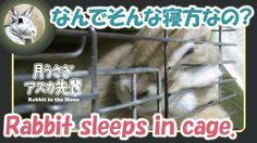 なんでそんな寝方なの?【ウサギのだいだい 】 Rabbit sleeps in cage. 2016年2月13日
