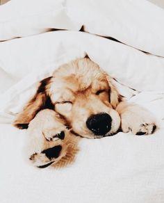 Cute puppies golden retriever aesthetic golden retrievers, cute creatures, animals and pets, baby Cute Puppies Golden Retriever, Cute Dogs And Puppies, Golden Retrievers, I Love Dogs, Doggies, Retriever Puppy, Cute Baby Animals, Animals And Pets, Funny Animals