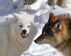 """""""Hmm, Ever Thought About Flossing?"""" by Gerry Sibell on Coyotes, Wolf Watch, Psychiatric Service Dog, Wolf Stuff, Wolf Love, Wild Wolf, Beautiful Wolves, Big Bad Wolf, Service Dogs"""