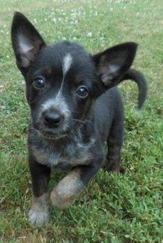 Image Result For Blue Heeler Chihuahua Mix Australian Cattle Dog