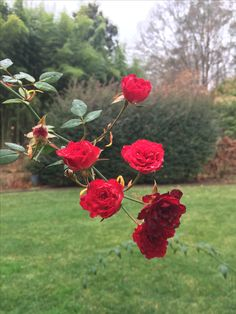 The day after Christmas and Red Cascade rose is still blooming in spite of a couple of nights when the temps dropped below freezing. Sited right! 26 ec 2016
