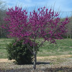 In some parts of southern Appalachia, green twigs from the Eastern redbud are used as seasoning for wild game such as venison and opossum. Because of this, in these mountain areas the Eastern redbud is sometimes known as the spicewood tree.