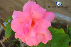 Rosa de mi jardín.