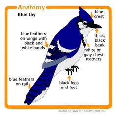 Anatomy of the Blue jay