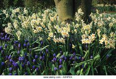 RHS. Wisley. Surrey. Mixed Daffodils. Narcissus and Grape Hyacinths. Muscari latifolius under tree. - Stock Image